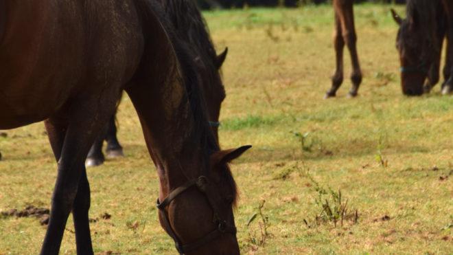 Les comportements nutritionnels surprenant du cheval