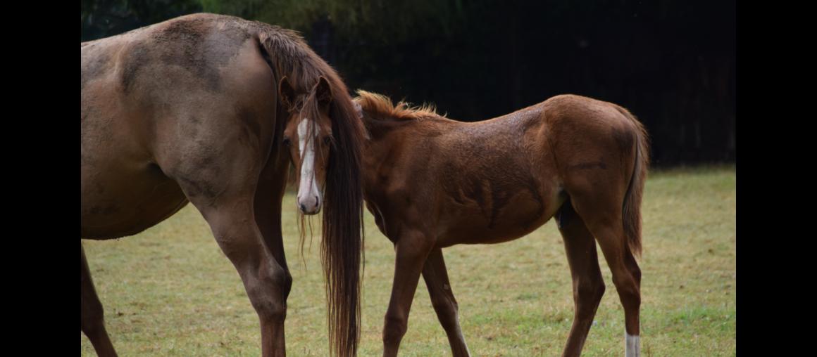 La mélasse : bon ou mauvais ingrédient pour les chevaux?